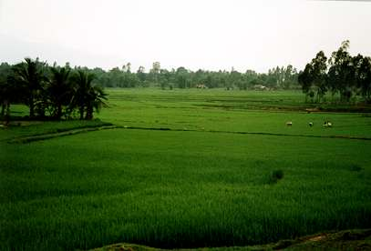 rice fields-Hoi An