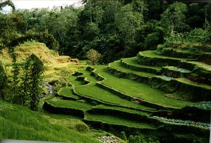rice terraces-Bali